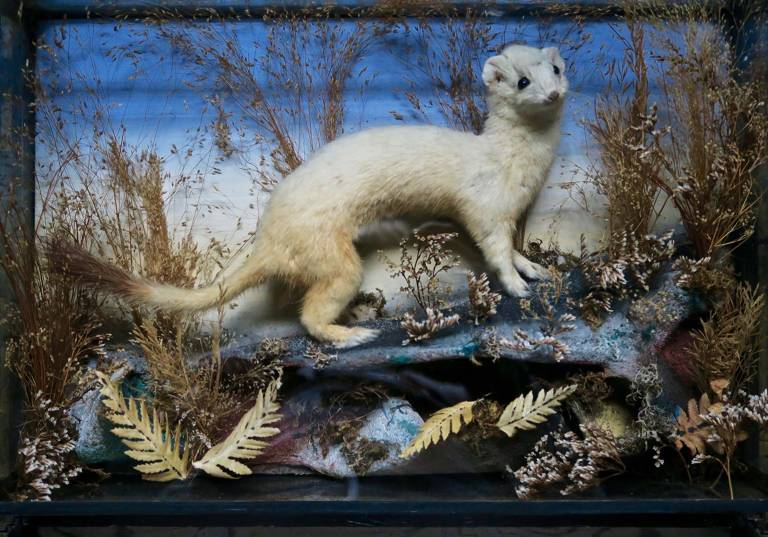 Taxidermy Ermine