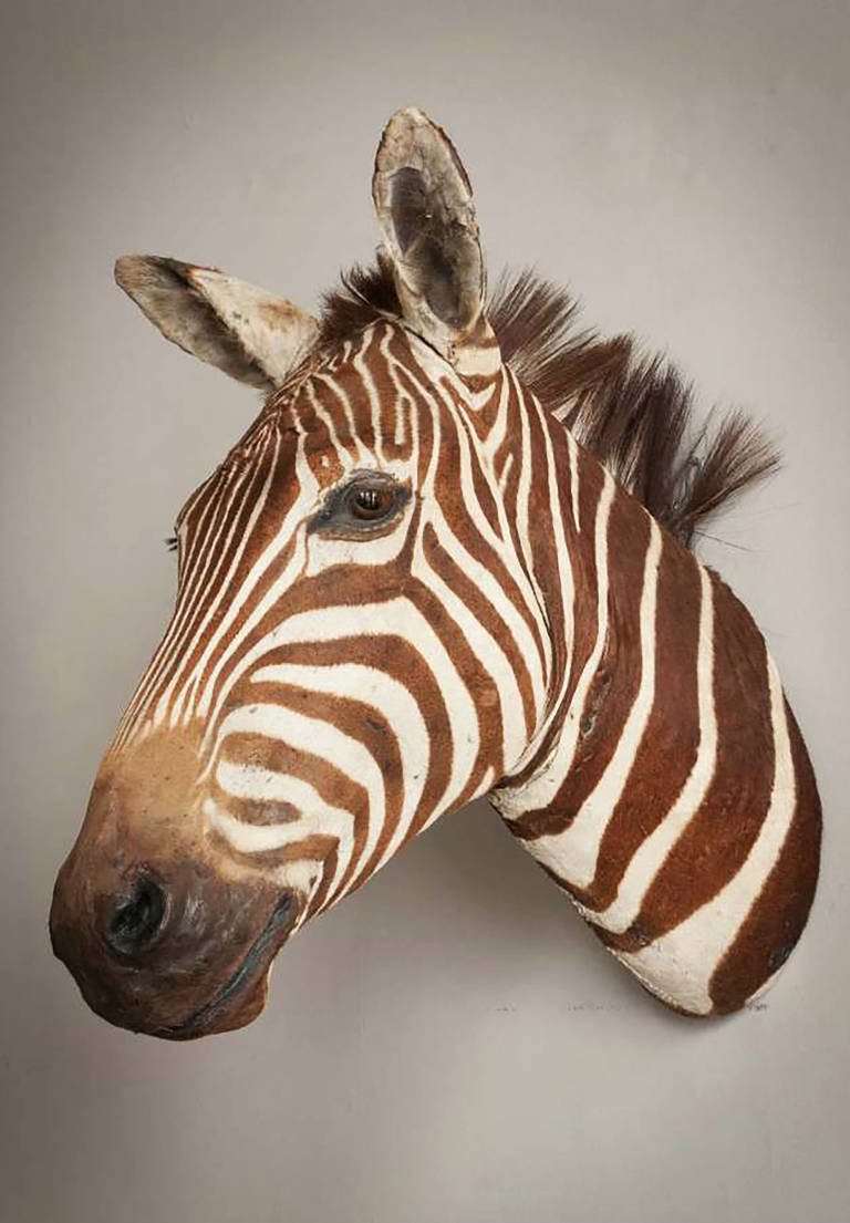 Taxidermy Zebra (Equus Quagga) Trophy