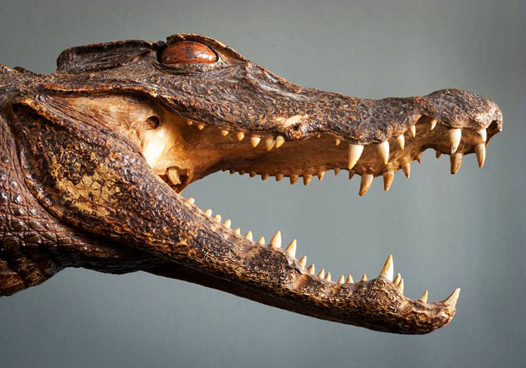 Taxidermy Alligator