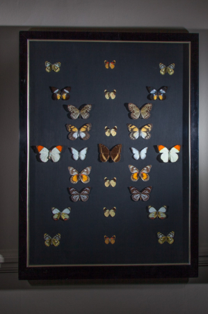 Butterflies in V&A frame (A)